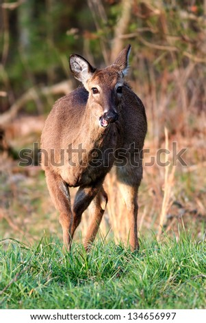 A deer grazes in a clearing of Cades Cove of Great Smoky Mountains National Park, Tennessee, USA. - stock photo