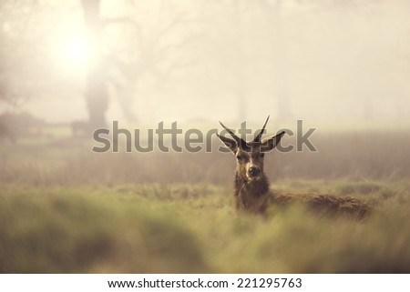 A deer lies in long grass in the morning mist. England. - stock photo