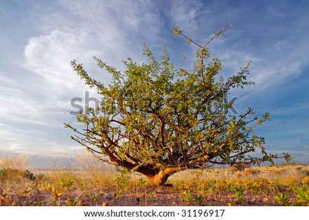 A desert plant (Commiphora spp.) against a blue sky with clouds, Namibia, southern Africa - stock photo