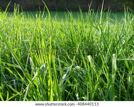 a detail of a green grass with morning dew - stock photo