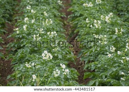A detail view of fructiferous potatoes - stock photo