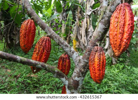 A detail view of hanging cocoa pods on a tree in Huayhuantillo village near Tingo Maria in Peru, 2011 - stock photo