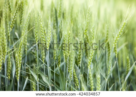 A detail view shows the kernels of grain from a wheat field in the Palouse area of Eastern Washington state. - stock photo