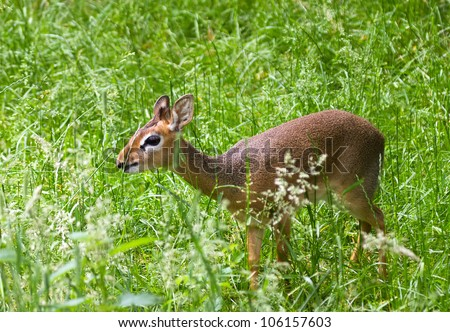A dik-dik stands in a field eating some grass - stock photo