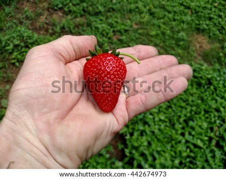 A dirty working mans hand holding a freshly picked back yard garden fresh strawberry - stock photo