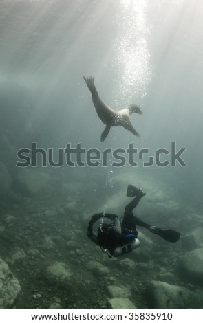 A diver and a California Sea Lion (Zalophus californianus) play together underwater in the Sea of Cortez, Mexico - stock photo