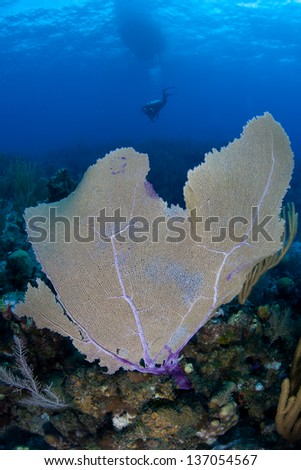 A diver explores a coral reef dominated by large gorgonians off Grand Cayman in the Caribbean Sea. - stock photo