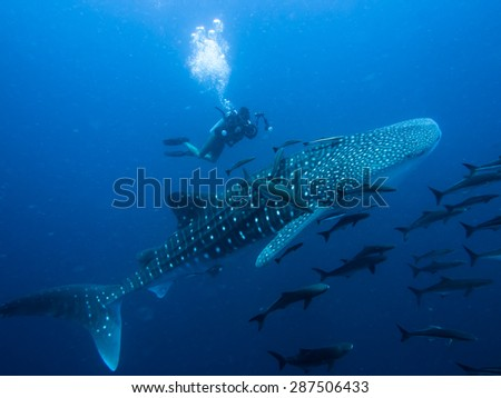 A diver next to a whale shark, Rhincodon typus. - stock photo