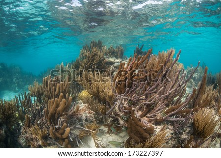 A diverse coral reef grows in the shallow waters of Belize's barrier reef in the Caribbean Sea. Belize's reef is about 220 km in length running from the Yucatan to the Gulf of Honduras. - stock photo