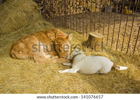A dog and a calf playing together - stock photo
