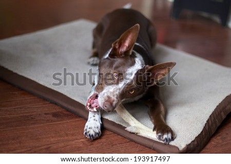 A dog and it's antler A brown and white dog lying on it's bed chewing on a deer antler. - stock photo