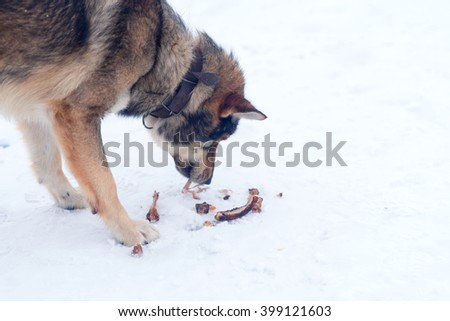A dog collar is smelling leftovers in snow - stock photo