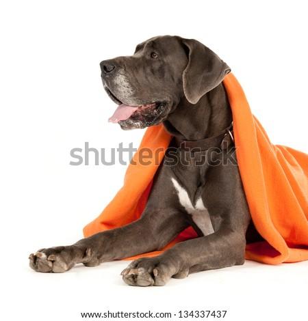 A dog (Great Dane) is half-way hidden under an orange blanket - stock photo