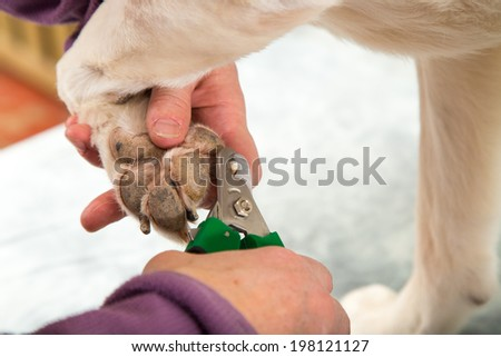 A dog groomer clips a dogs toe nails during a grooming session - stock photo