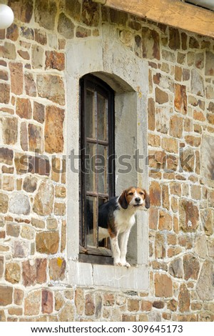 A Dog guards the house out of a hole in the window of a farmhouse in the Belgian Ardennes - stock photo