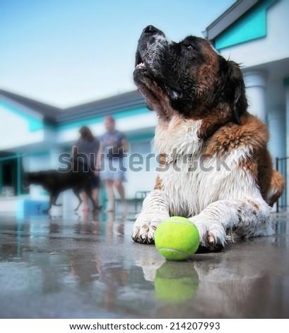 a dog having fun at a local public pool  - stock photo