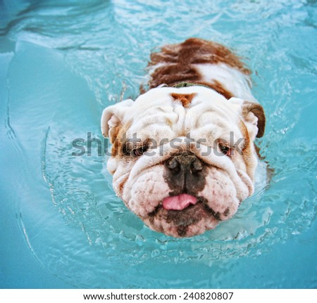 a dog having fun at a local public pool - stock photo