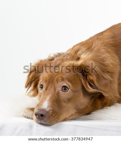 A dog is begging for treats from it's owner. The dog is laying in the floor and looking desperately up. The dog breed is a Nova scotia duck tolling retriever also known as a toller. - stock photo