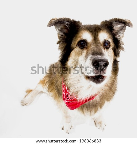 A dog is sitting on the ground wearing a neckerchief. - stock photo