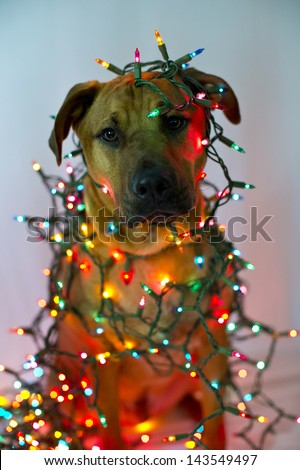 A dog is wrapped in Christmas lights - stock photo