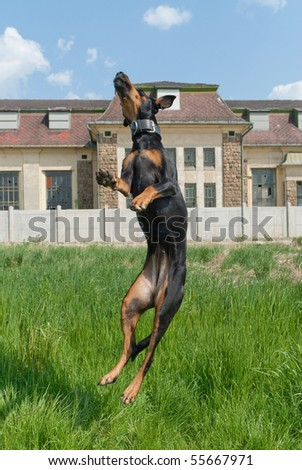 a dog jumping for through the air for an appetizer - stock photo