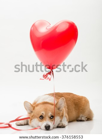 A dog laying on the floor holding a red balloon in his mouth looking up afraid - stock photo