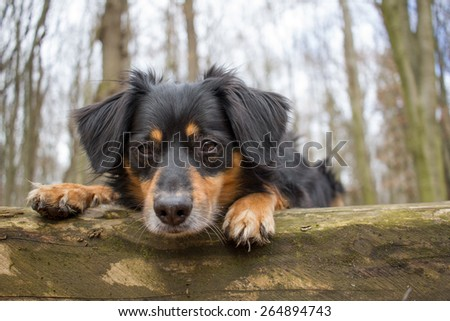 A dog lies in the forest on a tree trunk and looks into the camera - stock photo