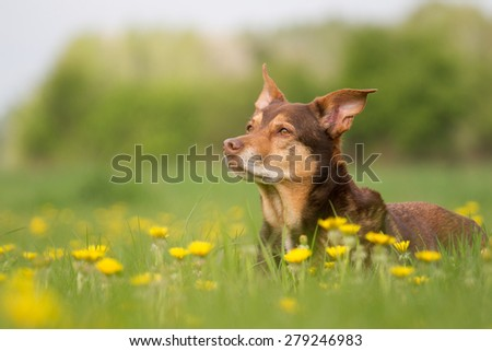 A dog lying in a meadow and looks attentively - stock photo
