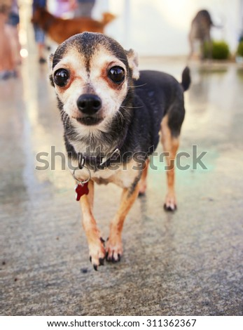 a dog playing at a local public pool - stock photo