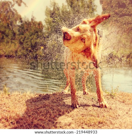 a dog shaking off water by a river on a warm summer day toned with a warm vintage instagram filter  - stock photo