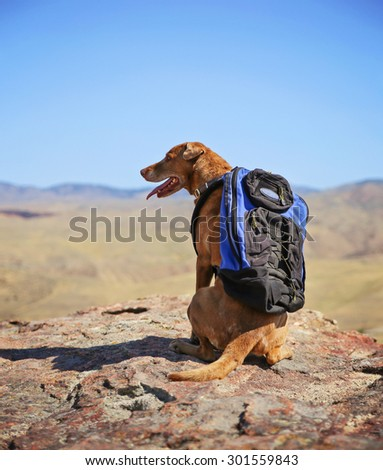 a dog sitting on a mountain top with a canvas backpack looking over a skyline panting on a hot summer day - stock photo