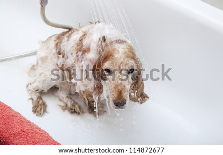 A dog taking a shower with soap and water - stock photo