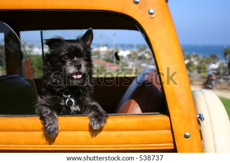 A dog that looks like Toto waits for his master to come back to his woodie automobile in Santa Barbara, California. - stock photo