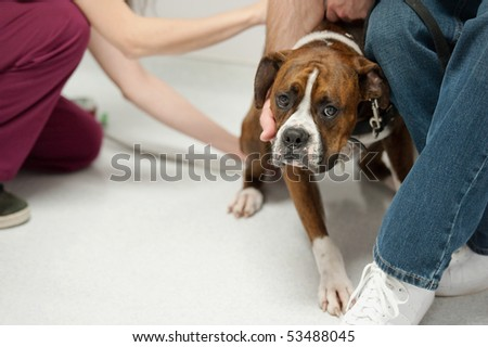 a dog unhappily lets the nurse take his temperature - stock photo