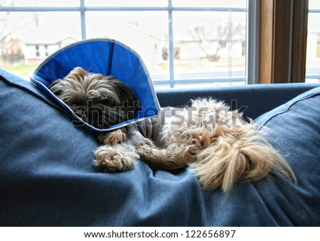 a dog with a cone from the veterinarian on his head after surgery - stock photo