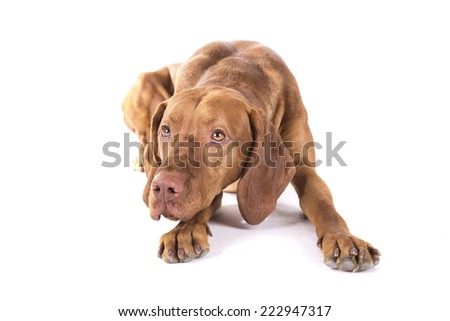 A dog with funny bunny ears on sitting on a white background - stock photo