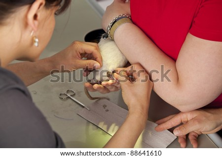a domestic rat being sutured by a veterinarian after having had a surgery at its leg - stock photo