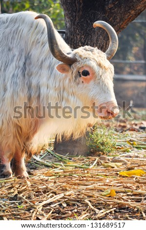 A domesticated yak, used as a work animal or raised for meat and milk. - stock photo