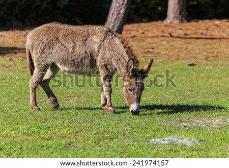 A Donkey eats grass in a field. - stock photo