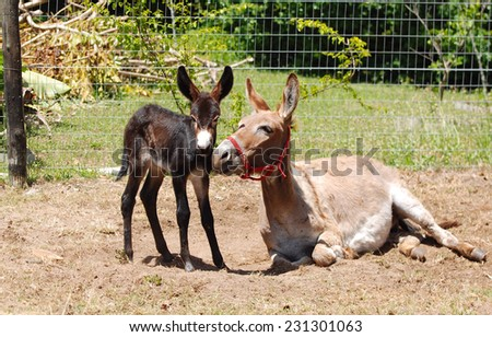 A donkey mare laying down with her newborn foal standing next to her on blurry background. - stock photo