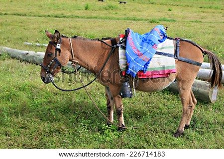 A donkey with saddle grazing in a green field - stock photo