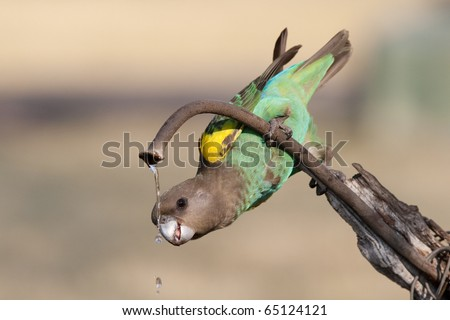 A drinking Meyer's Parrot - stock photo