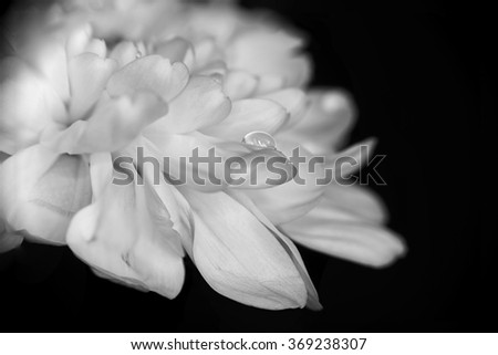 A drop of water on a petal of white flower against black background - closeup with selective focus - stock photo