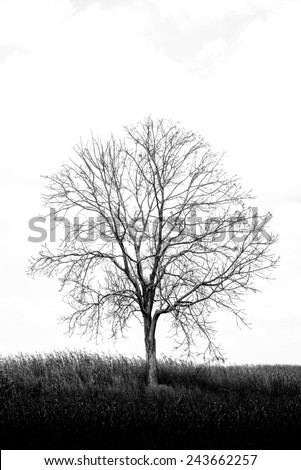 A dry  tree among dry corn field in winter season in  vertical frame in black and white photo style very beautiful in close up detail   - stock photo