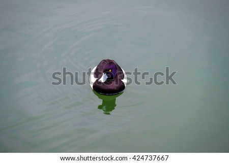 A duck in a pond - stock photo