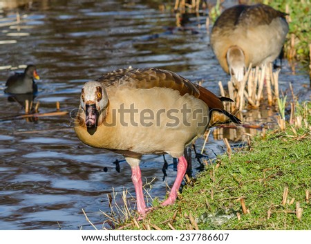 A duck looking into the camera - stock photo
