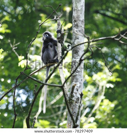 A Dusky Leaf Monkey also known as Spectacled Langur sitting on a branch in its natural habitat in the Malaysian rainforest. This monkey is scientifically known as Trachypithecus obscurus - stock photo