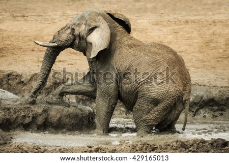 A elephant walking out of a water bath, Madikwe Game Reserve - stock photo