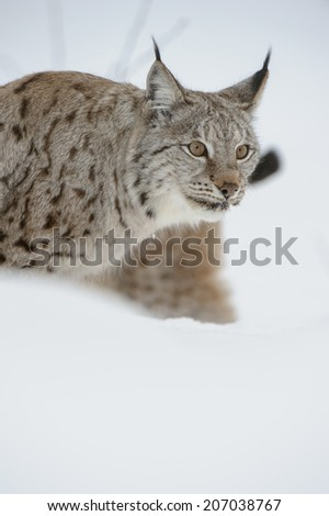 A Eurasian Lynx in deep snow. - stock photo