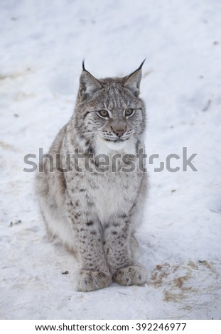 A Eurasian lynx in winter.Cub.Norway. - stock photo